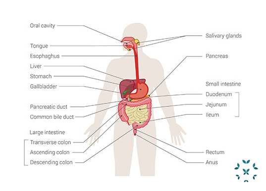 Kaleidoscope Lupus and the Gastrointestinal System